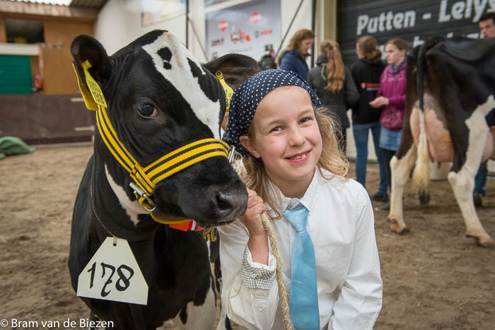 Putten - Koeien keuren tijdens de Fokveedag